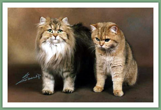 du Cèdre Enchanté - British Shorthair et British Longhair